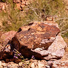 Golden-Mantled Ground Squirrel, Palm Canyon Trail, KOFA National Wildlife Refuge