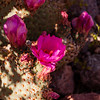 Bevertail Cactus, Palm Canyon Trail, KOFA National Wildlife Refuge