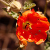 Desert Globemallow, Palm Canyon Trail, KOFA National Wildlife Refuge