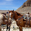 Local Horses in Hualapai Canyon @ Grand Canyon, AZ