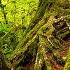 Olympic National Park, Washington, Hoy Rain Forest, Hall of Mosses Trail