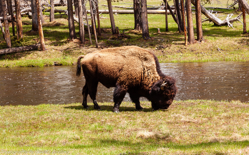 Yellowstone National Park, Bison