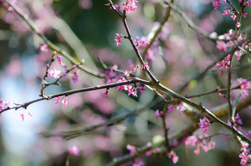 Redbud tree at Washington Oaks