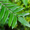 Winged Sumac leaves