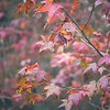 Sweetgum Tree Provides Fall in Florida