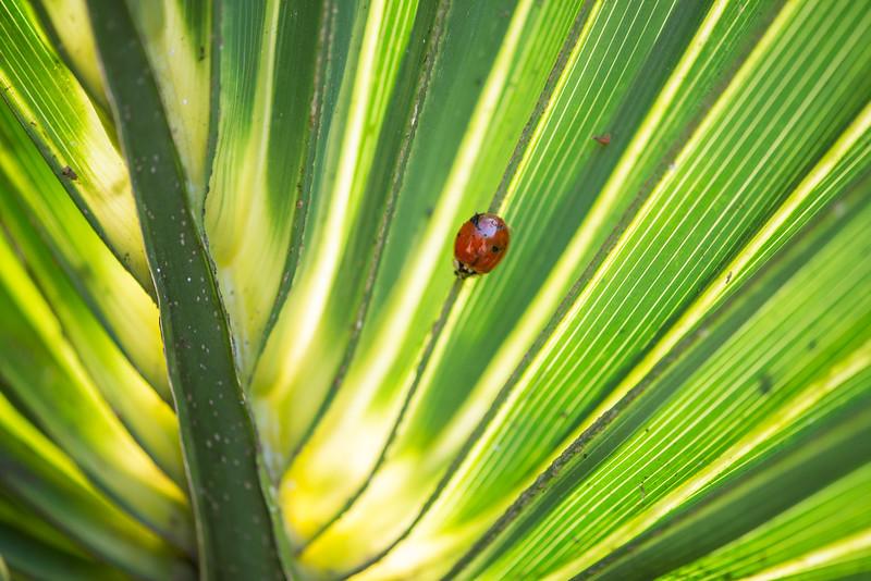 Ladybug on a Palmetto frond