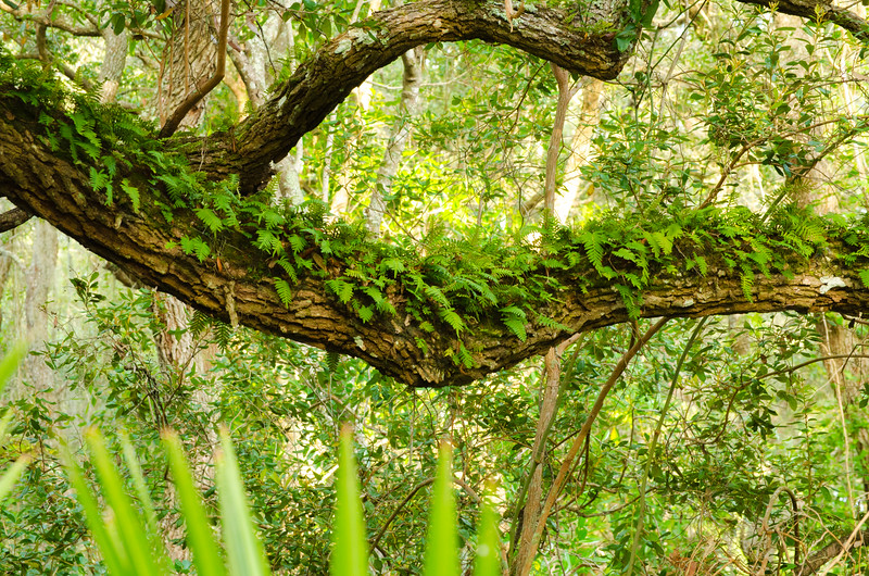 Resurrection fern on an old Live Oak