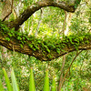 Resurrection fern on an old Live Oak