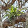 Bromeliad living on a Live Oak at Washington Oaks