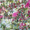 Azaleas in full bloom at Washington Oaks