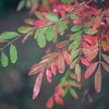 Winged Sumac in Fall Colors