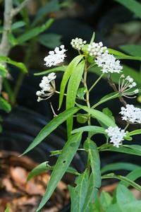 Texas Milkweed - Asclepias perennis - Brazoria Co, Tx