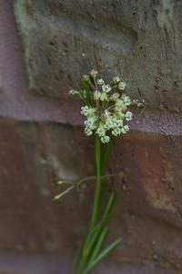 Whorled Milkweed - Asclepias verticilata - Chambers Co, Tx