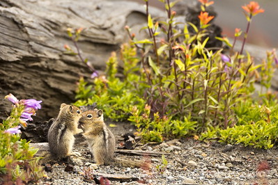 Juvenile Cascade Golden-mantled Ground Squirrels playing at the Loowit Viewpoint in the Mt. St. Helens National Volcanic Monument in Washington State.