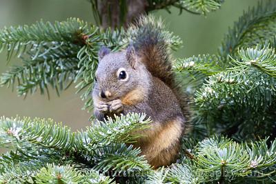 Douglas Squirrel near Bremerton, Washington.