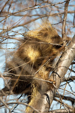 North American Porcupine near Royal City, Washington.