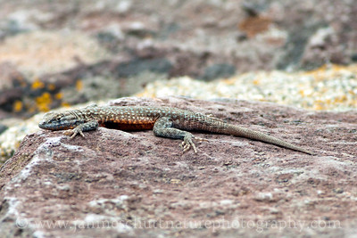 Side-blotched Lizard sunning itself on a rock.  Photo taken at Ginkgo Petrified Forest State Park in Vantage, Washington.