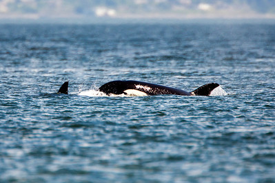 Female Orcas swimming past Point No Point in Hansville, Washington.