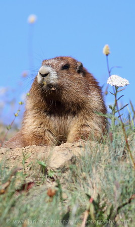 Olympic Marmot at Hurricane Ridge in Olympic National Park, Washington.
