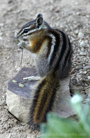 Yellow-pine Chipmunk at Hurricane Ridge in Olympic National Park, Washington.