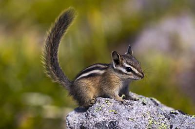 Yellow-pine Chipmunk near Frozen Lake at Mt. Rainier National Park in Washington.