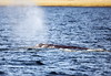 Gray Whale spouting before taking another dive.  Photo taken from an Island Adventures tour boat on April 6, 2018 just west of Camano Island in Washington.