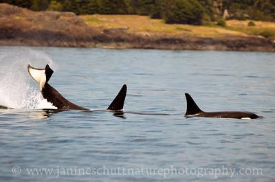 Orcas near San Juan Island, Washington.