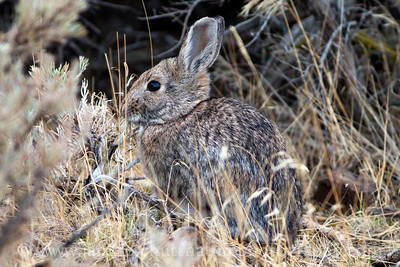Mountain Cottontail eating sagebrush.  Photo taken near the Visitor Center at Ginkgo Petrified Forest State Park in Vantage, Washington.