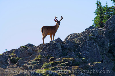 Black-tailed Buck at Hurricane Ridge in Olympic National Park, Washington.