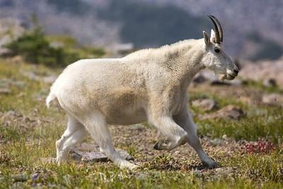 Mountain Goat near Frozen Lake at Mt. Rainier National Park in Washington.