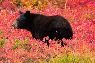 Black Bear feeding on fall huckleberries.  Photo taken at Paradise in Mt. Rainier National Park in Washington.