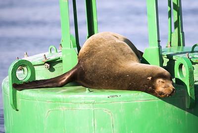 California Sea Lion sleeping away the afternoon on a buoy near the Port of Everett Marina in Everett, Washington.