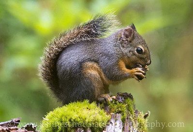 Douglas Squirrel at the Hoh Rain Forest, Olympic National Park near Forks, Washington.