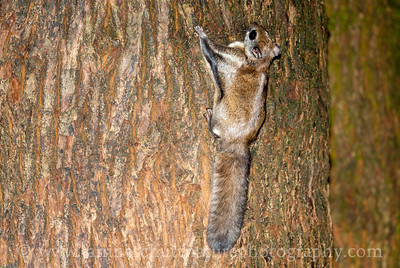 Northern Flying Squirrel near Bremerton, Washington.