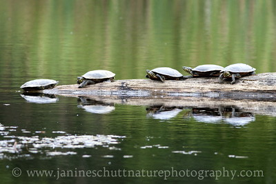 Western Painted Turtles resting on a log in the beaver pond by the McLane Creek Nature Trail, near Olympia, Washington.