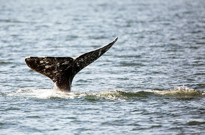Gray Whale fluke on the surface as the whale began a dive.  Photo taken from an Island Adventures tour boat on April 6, 2018 just west of Camano Island in Washington.
