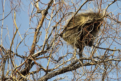 North American Porcupine high in a willow tree doing its best impression of a bird nest.  Photo taken at Potholes State Park near Othello, Washington.