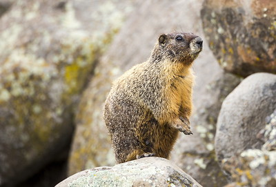 Yellow-bellied Marmot at the Ginkgo Petrified Forest State Park in Vantage, Washington.  Photo taken near the boat launch.