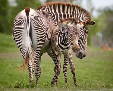 Zebra mare and baby