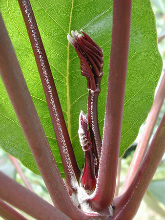 HI Native Plants N to Z