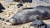 Hawaiian monk seal, Neomonachus schauinslandi, an endangered endemic seal in Hawai`i