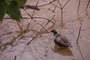 `Alae `ula, Gallinula chloropus sandvicensis, an endemic endangered Hawaiian waterbird.