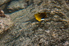 Racoon butterflyfish, Chaetodon lunula, a native tidepool fish of Hawai`i