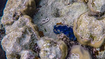 Giant clam, Tridacna species, an indigenous clam of Mircronesia, in front of Palau Pacific Resort, Koror, Palau