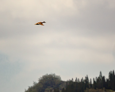 Hawaiian Duck, koloa maoli (Anas wyvilliana), an endangered species  historically known from all the main islands.