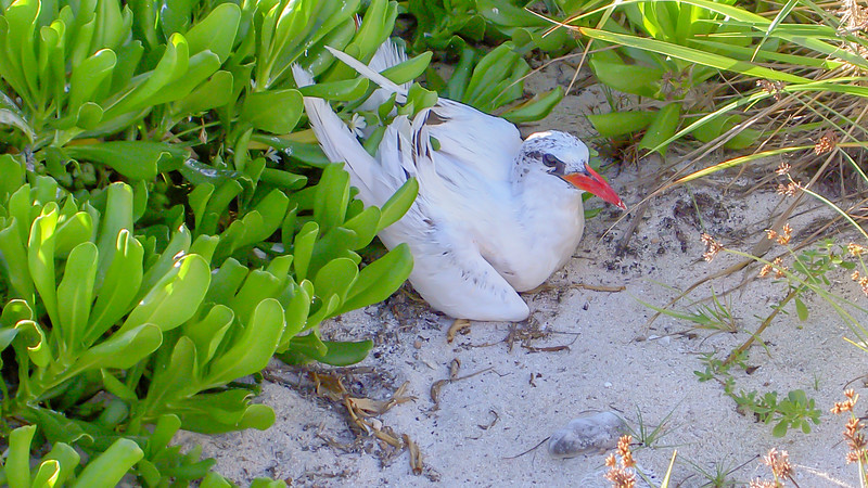 Rad-tailed tropicbird, Phaethon rubricauda, an indigenous seabird of Hawai`i and other Pacific islands