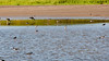 White-faced ibis, Plegadis chihi, an uncommon visitor to Hawai`i