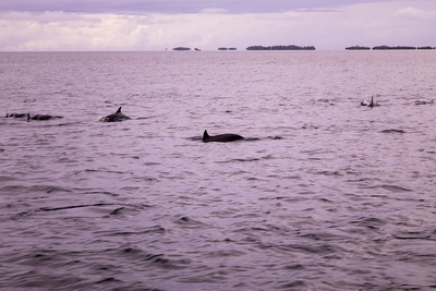 Spinner dolphin, Stenella longirostris, an indigneous dolphin of the Pacific Ocean, within the reef on the way to Ant Atoll, Pohnpei, FSM
