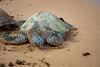 Chelonia mydas, green sea turtle, honu