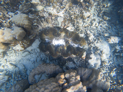 Giant clam, Tridacna gigas, an indigenous clam of Mircronesia, in front of Palau Pacific Resort, Koror, Palau